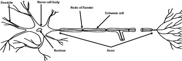 nerve cell diagram blank wiring diagram Neuron Diagram Labeled a\\u0026p 2 lab page 3figure 1 2 neuron anatomy